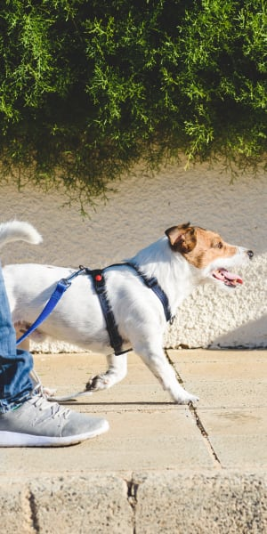 Resident taking his dog for a walk in the neighborhood at Paragon at Old Town in Monrovia, California