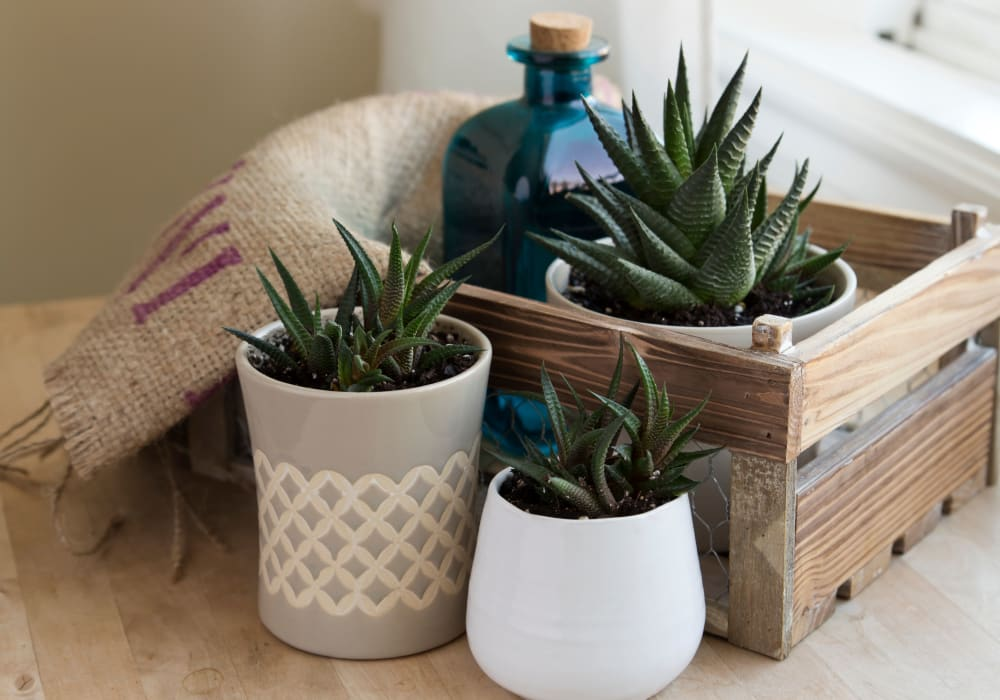 Succulent decor at The Trails at Canyon Crest in Riverside, California