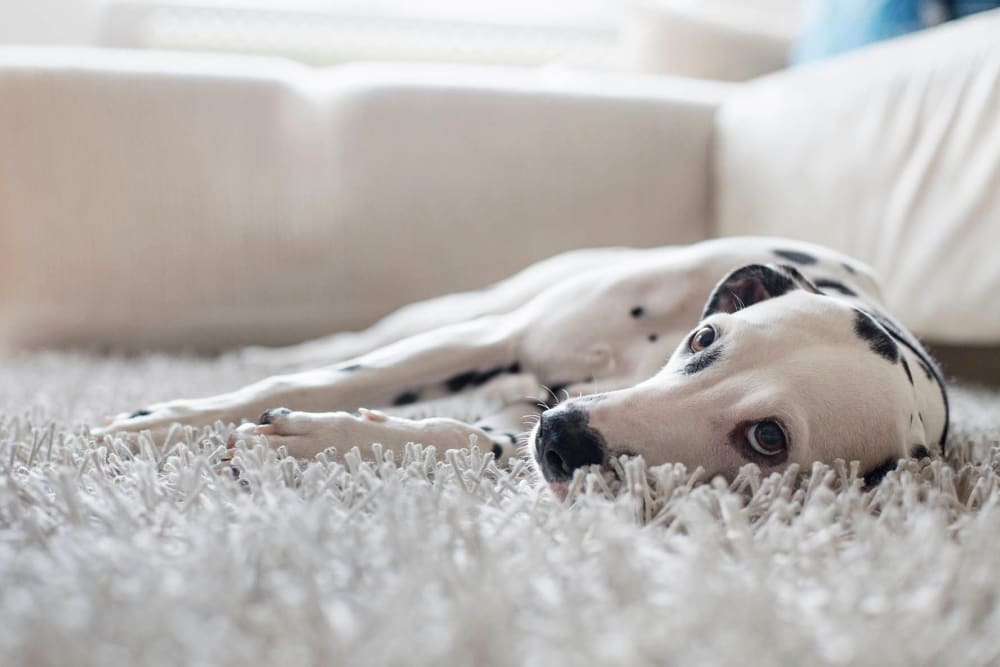 Beautifyl Dalmatian dog laying on a cozy looking carpet at Mezza in Jacksonville, Florida