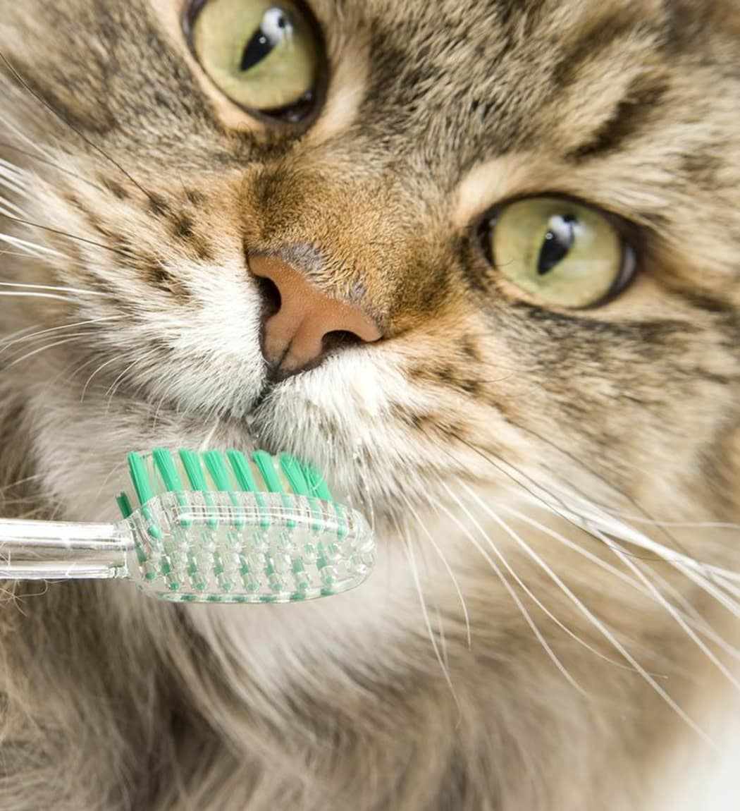 Closeup of a cat about to get his teeth brushed at Arizona Avenue Animal Clinic in Chandler, AZ