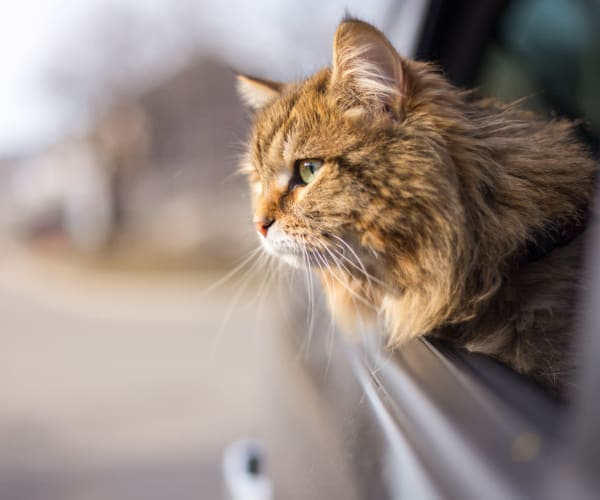 Cat looking out the car window on the drive to her new home at Sentio in Phoenix, Arizona