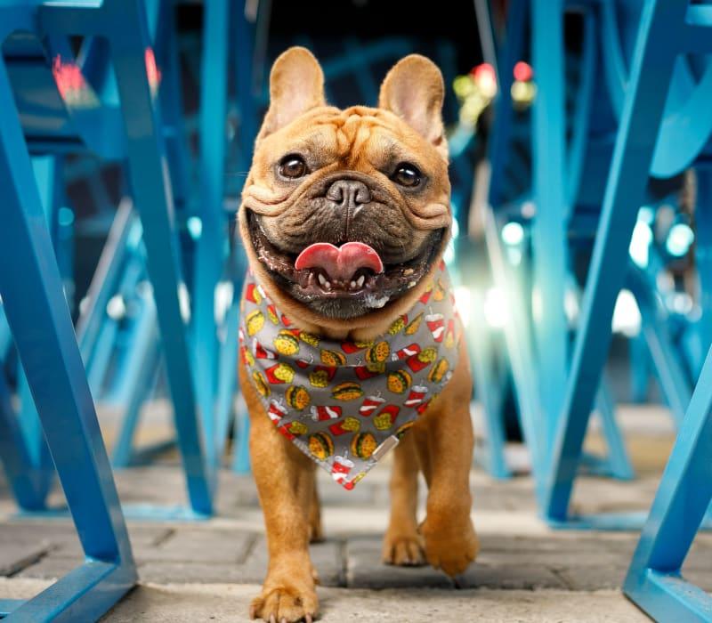 Dog walking between chairs at Anthem on 12th in Seattle, Washington