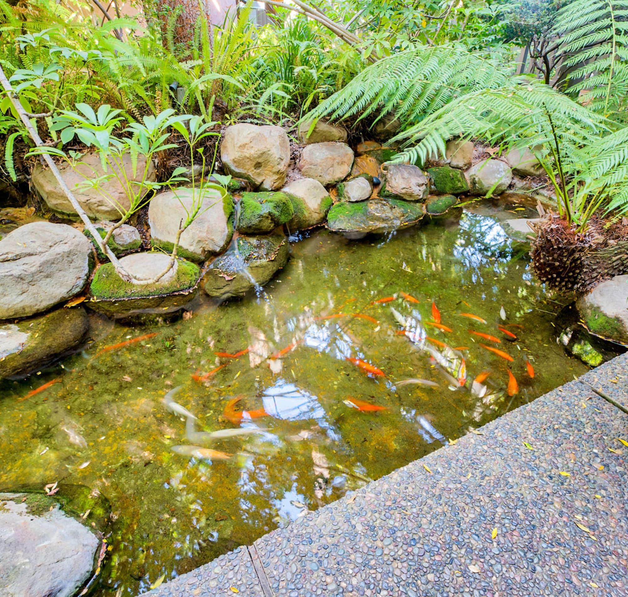 Koi thriving in a pond at Casa Granada in Los Angeles, California