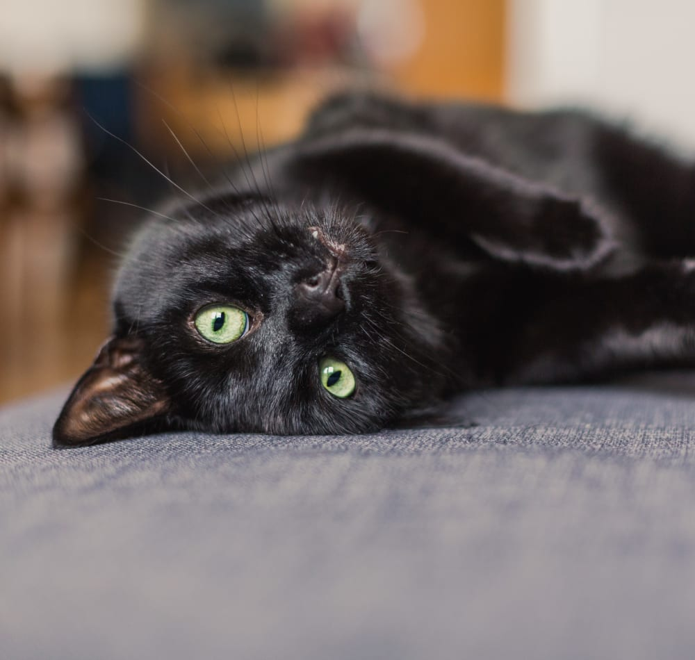 Cat laying on a couch at Chelmsford Hardy Place in Derry, New Hampshire