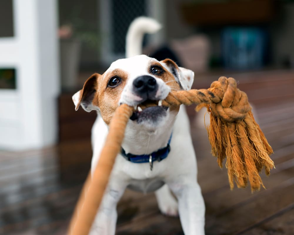 Dog playing with a rope toy at Glen Hollow Apartments in Croydon, Pennsylvania