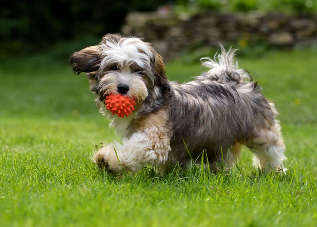 Happy dog playing on the grass outside his new home at Finisterra in Tempe, Arizona