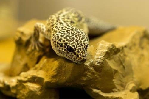 Leopard geckos treated at Stoughton Veterinary Service Animal Hospital in Stoughton, Wisconsin