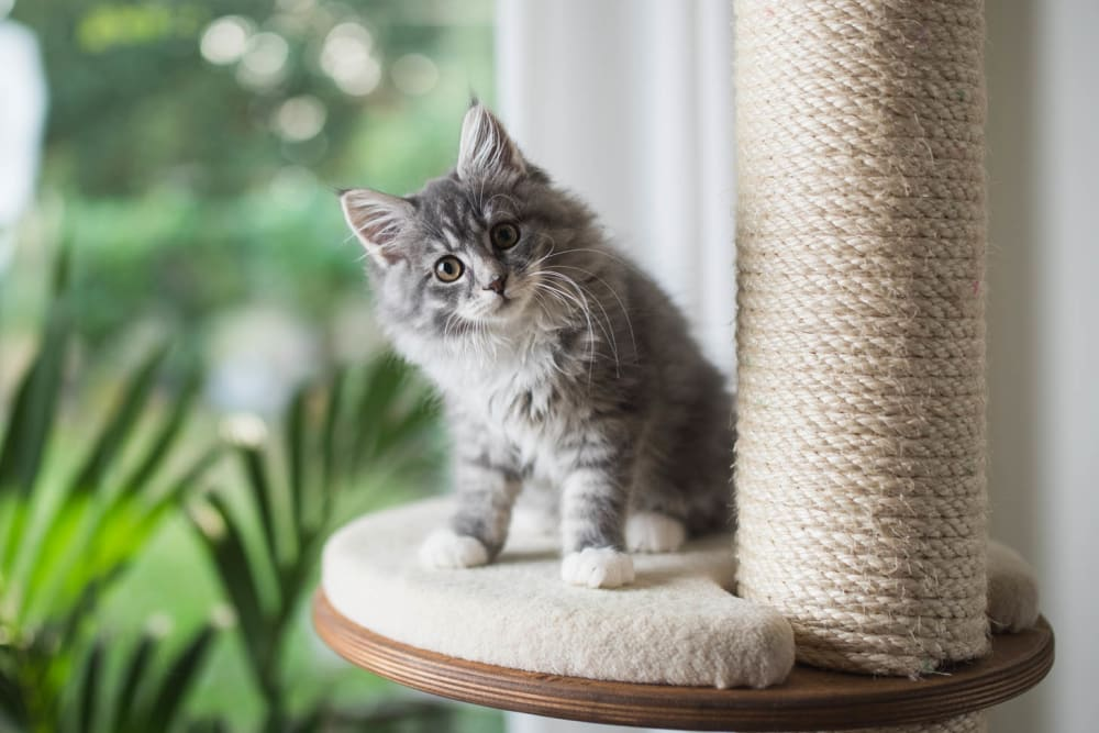 Cute kitten playing on cat tree at Laurel Heights at Cityview in Fort Worth, Texas