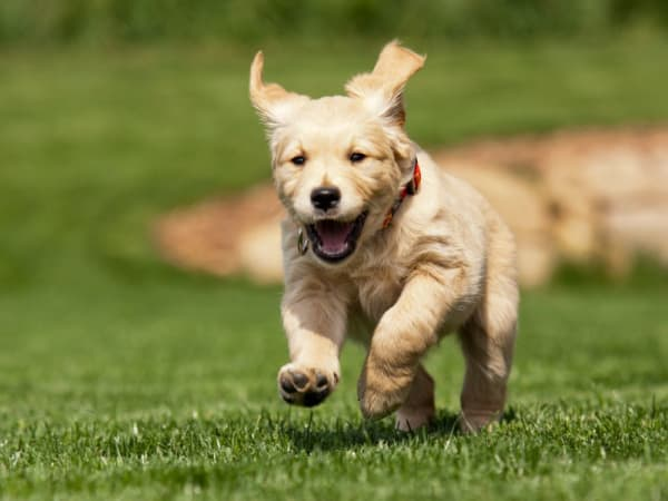 Smiling Labrador Puppy Running in the Grass at Royal Farms Apartments