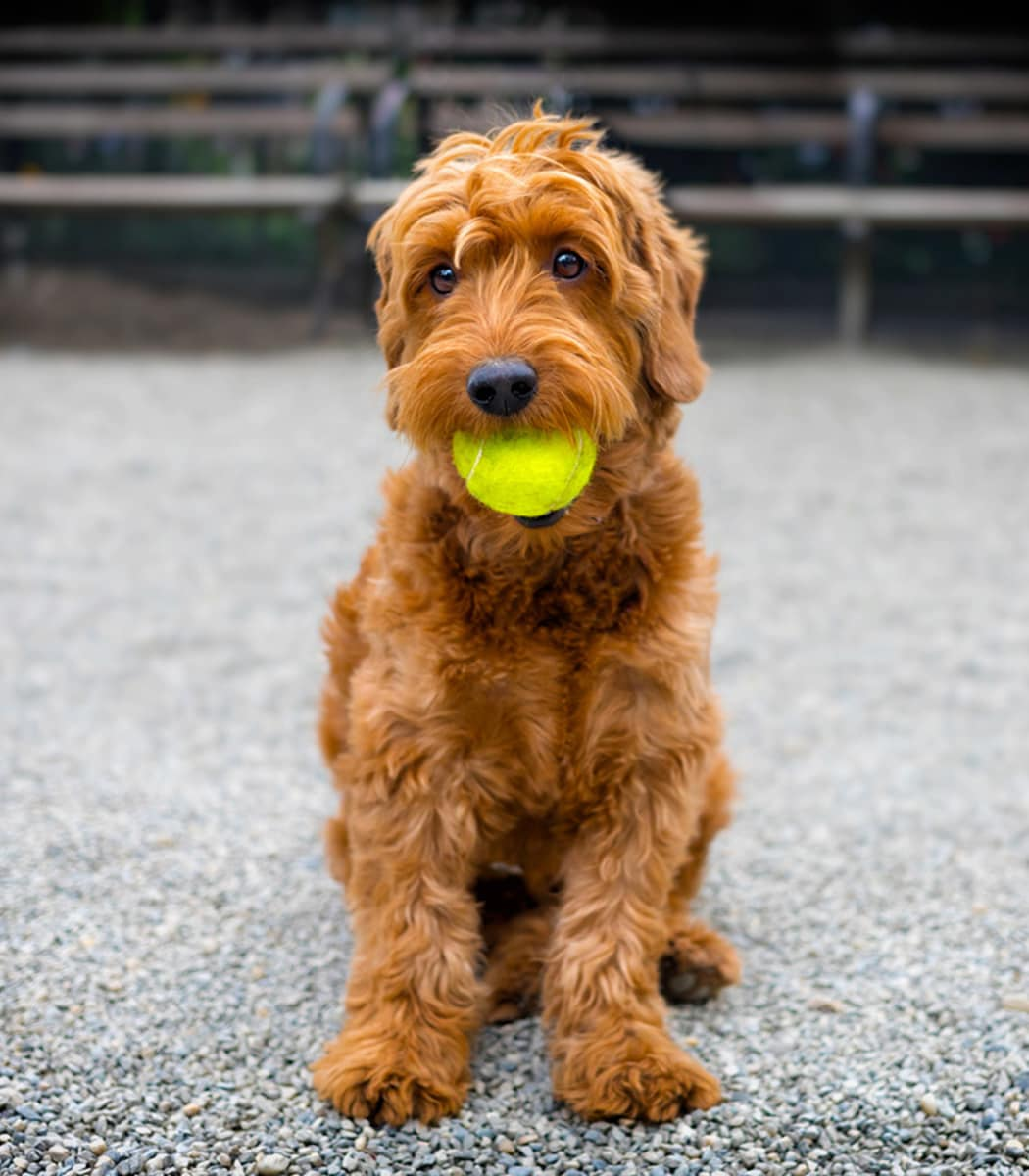 Resident pup with tennis ball at Meadowbrook Station Apartments
