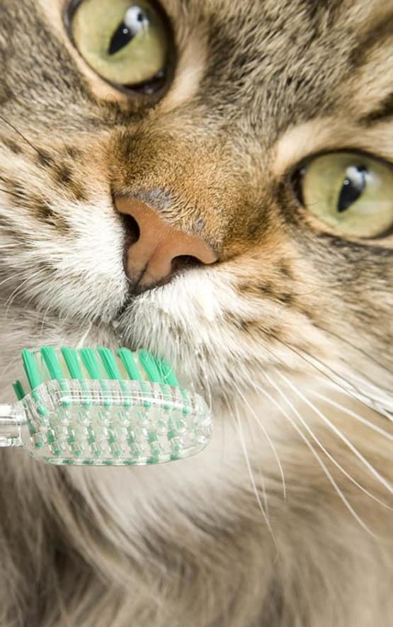 Cat getting its teeth brushed at Civic Feline Clinic in Walnut Creek, CA