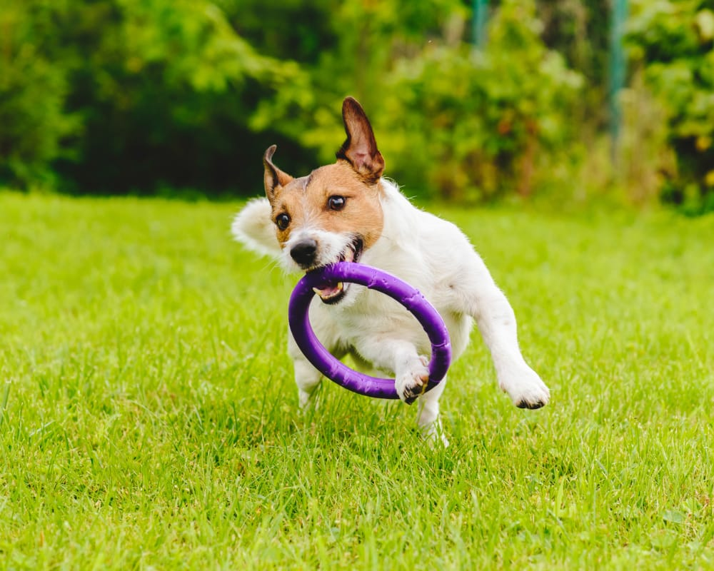 A happy dog with hoop toy at EnVue Apartments in Bryan, Texas