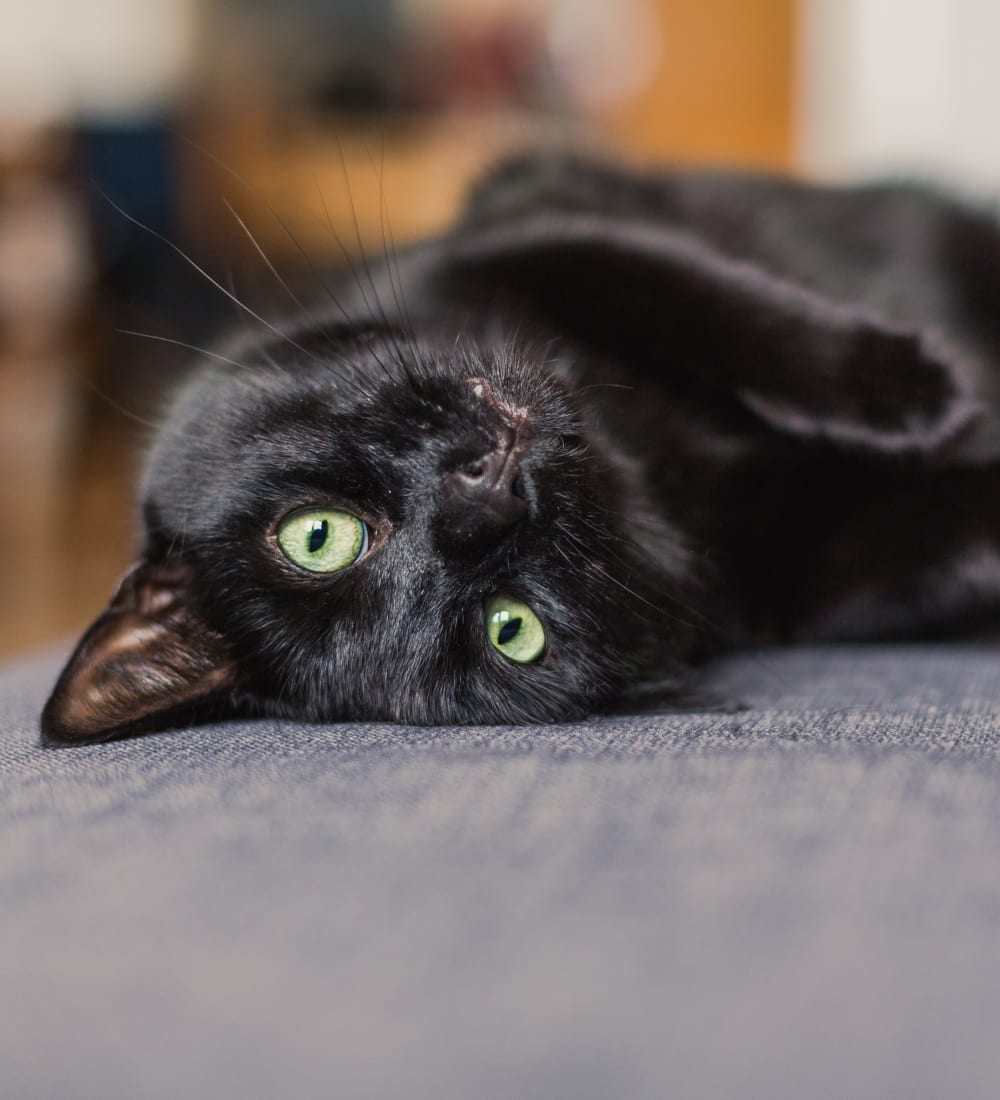 Happy cat laying on a couch at Olde Hampton Village Apartments in Hampton, New Hampshire