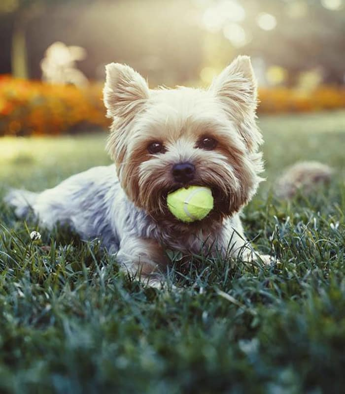 Happy pup with a tennis ball in his mouth at Arizona Avenue Animal Clinic in Chandler, AZ