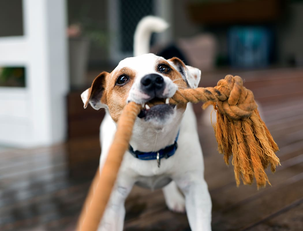 Dog playing with a toy at The Monterey in San Jose, California