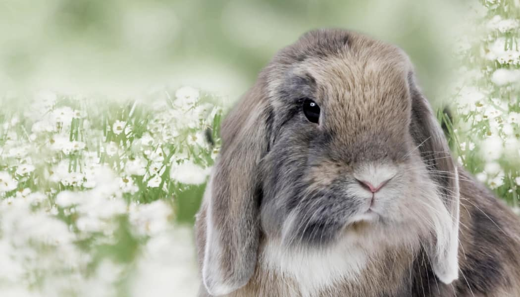 Beautiful rabbit at Apple Tree Cove Animal Hospital in Kingston, Washington