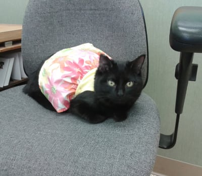A well-dressed kitty sittin' pretty at Starch Pet Hospital in Des Moines, Iowa
