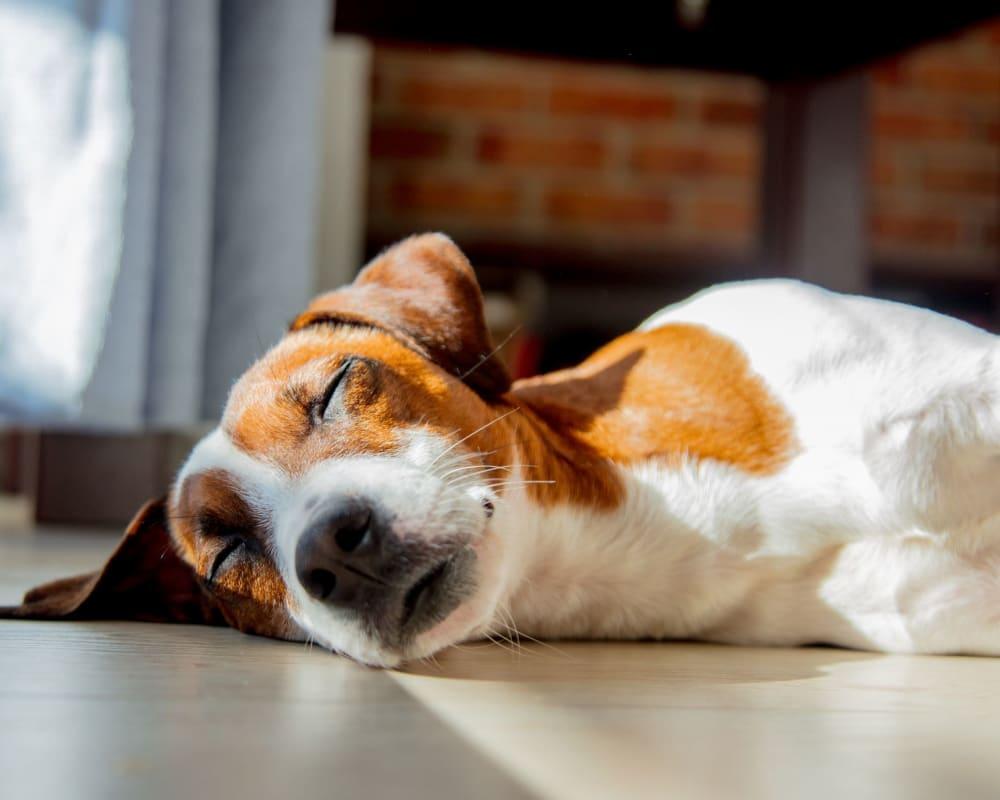 Sleepy dog laying on the floor at Oley Meadows in Oley, Pennsylvania