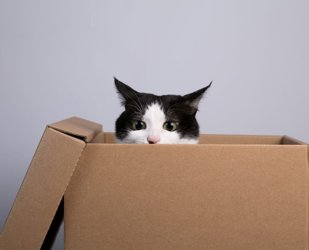 Cat hiding in a box at Apple Tree Cove Animal Hospital in Kingston, Washington