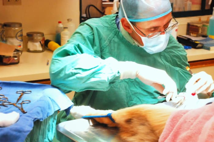 Veterinarian performs surgery on animal at Lafayette Animal Hospital in Lafayette, California