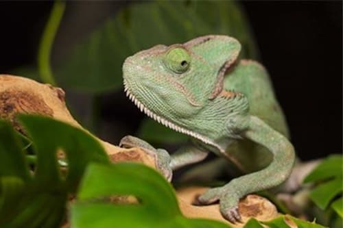 Chameleons treated at Stoughton Veterinary Service Animal Hospital in Stoughton, Wisconsin