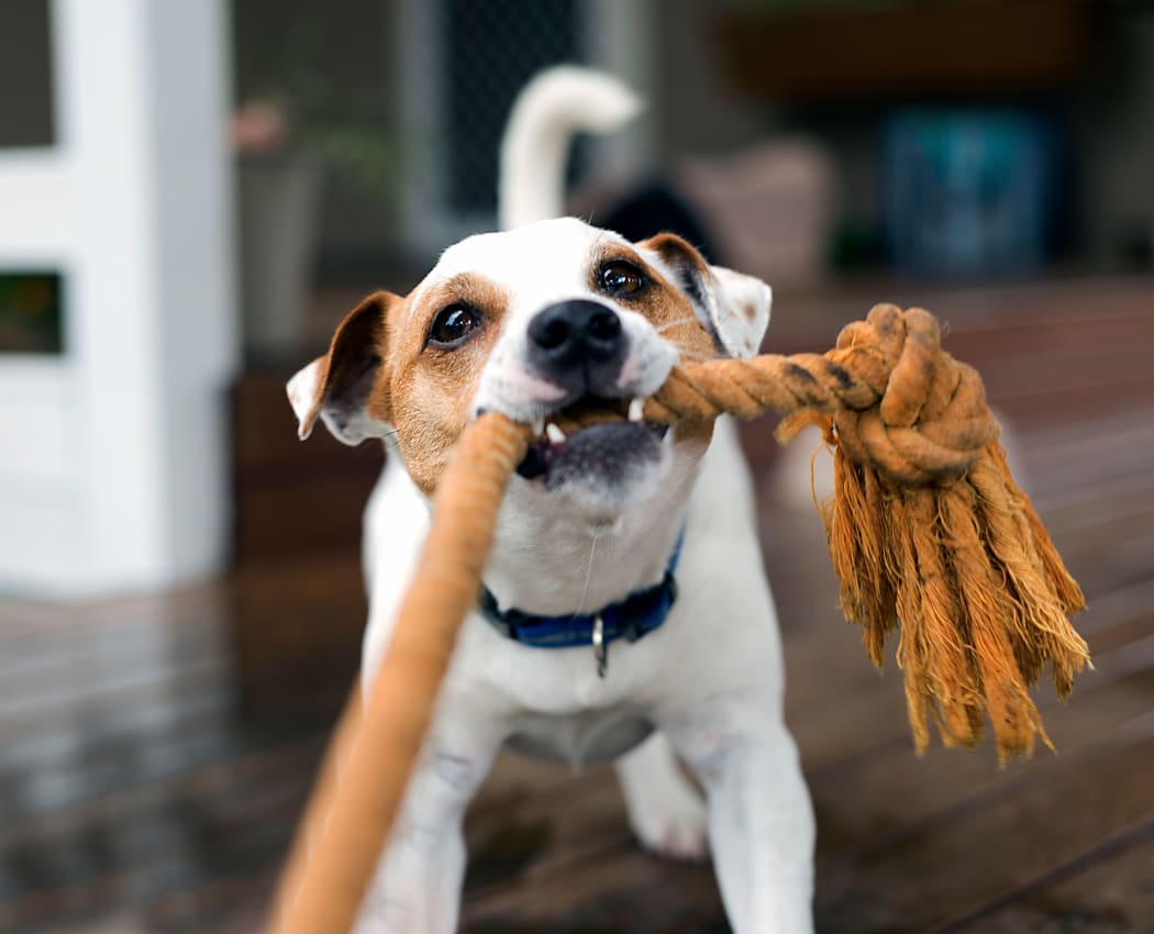Dog playing with a rope at The Glens Apartments in San Jose, California