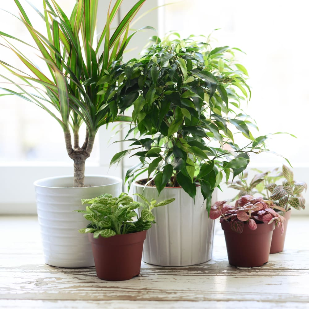 Thriving plants in a model home at Villa Del Sol in Sunnyvale, California