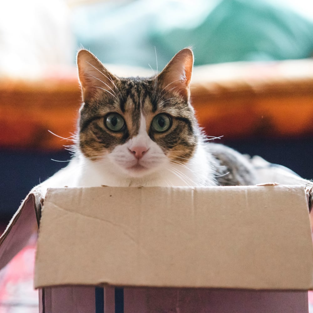 Cat sitting in a cardboard box at Branch River Apartments in Raymond, New Hampshire