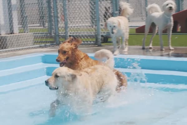 Dogs playing in the pool at an NVA pet resort