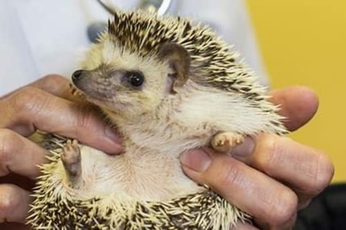Hedgehog treated at Stoughton Veterinary Service Animal Hospital in Stoughton, Wisconsin