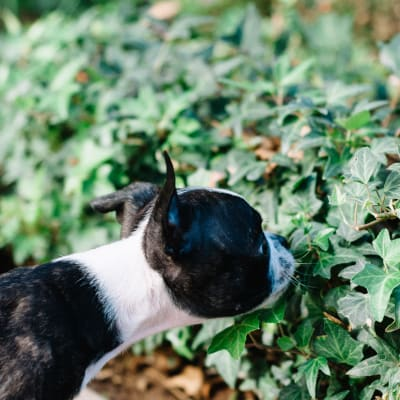 Resident pup stopping to smell some ivy at Waterstone Fremont in Fremont, California