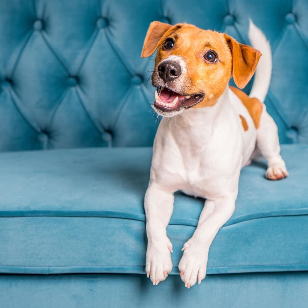 Adorable puppy sitting on a couch at The 450 pet friendly apartments in Lombard, Illinois