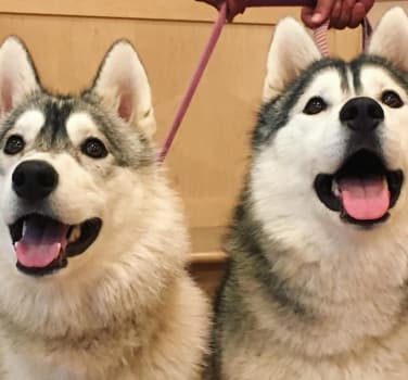 Pretty huskies awaiting their treats at Symphony Veterinary Center