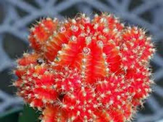 Red Cactus i Gr2 på Meydan