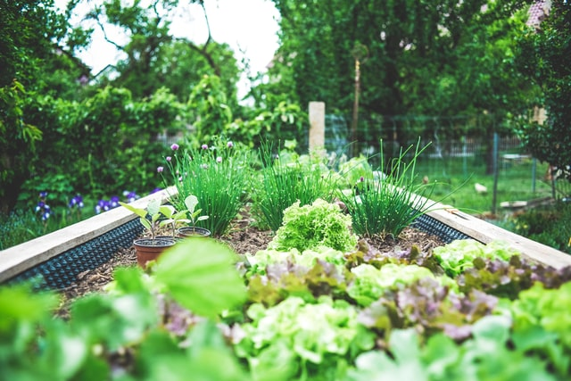 A row of companion plants such as chives and lettuce, planted in a raised garden bed