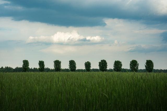 A row of trees representing a riparian buffer