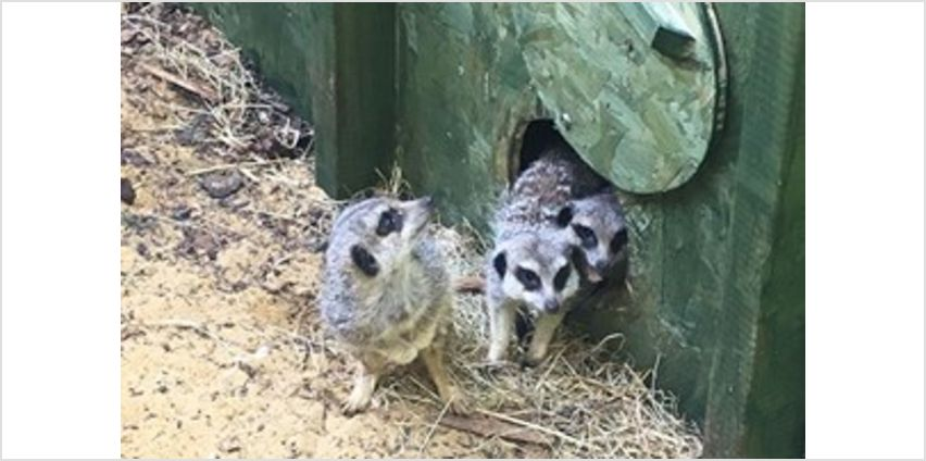 Meet the Meerkats Experience for Two at Willow's Bird of Prey Centre from Buy A Gift