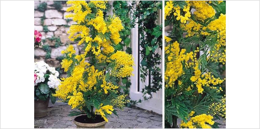 £24.99 instead of £48.99 (from Plantstore) for a acacia dealbata mimosa tree plant - save 49% from Wowcher