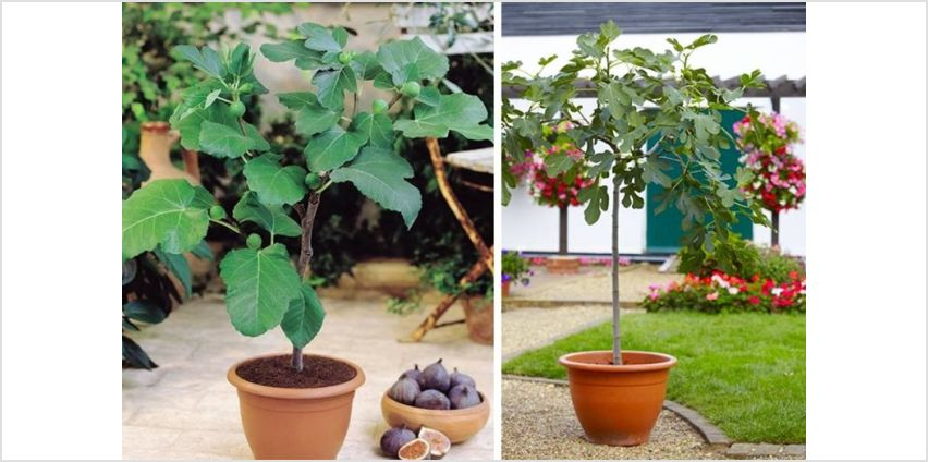 £19.99 instead of £37.99 (from PlantStore) for a patio fig tree or £34.99 for two fig trees - save up to 47% from Wowcher