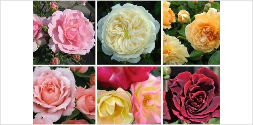 £19.99 (from Plant Store) for a collection of six garden rose bushes from Wowcher