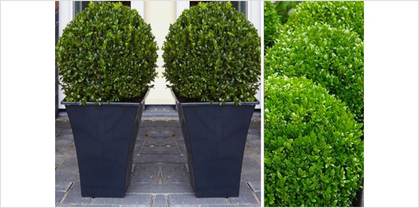 £24 instead of £78.99 (from Plant Store) for two topiary buxus - save up to 70% from Wowcher