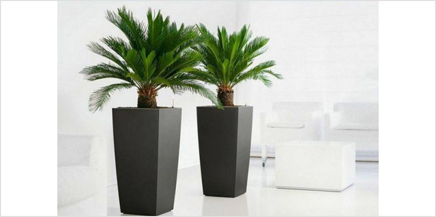 £29.99 instead of £78.98 (from PlantStore) for a pair of King Sago palm trees - save 62% from Wowcher