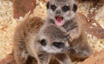 Meerkat Experience for Two Adults and Two Children at The Animal Experience