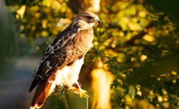 Two Hour Falconry Experience for Two with Coda Falconry