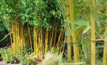 Phyllostachys Aurea - Golden Bamboo Plant
