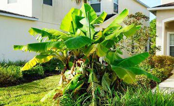 3 x Japanese Banana Trees