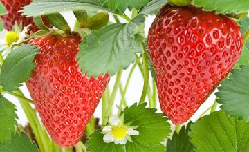 12 'Sweet Colossus' Strawberry Plants