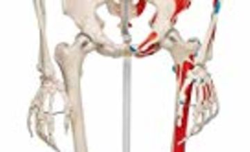 Save up to 25% on 3B Anatomical Models