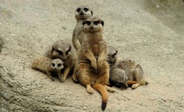 Meerkat Encounter for Two Gift Experience