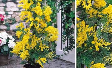 £24.99 instead of £48.99 (from Plantstore) for a acacia dealbata mimosa tree plant - save 49%